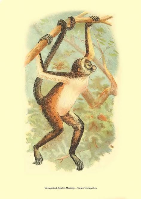 Fine art print of the Variegated Spider-Monkey - Ateles Variegatus by Henry Ogg Forbes (1896)